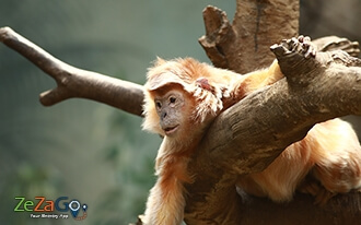 פארק הקופים אפנהול - Apenheul